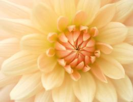 Faded Dahlia by andras120