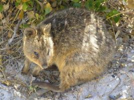 A Quokka - Rottnest Island by TheRolePlayingGame
