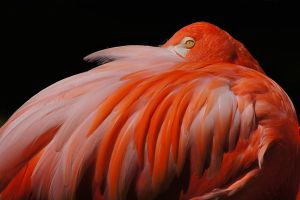 finely feathered flamingo by ariseandrejoice