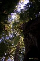 Muir Woods 9 by massivefocus