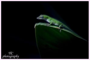 Baby Anole by TlCphotography730