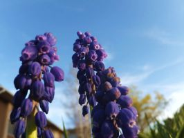 Muscari 2 by XxSilverOwl13xX