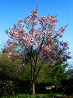 Magnolia Tree Full View by thenonhacker