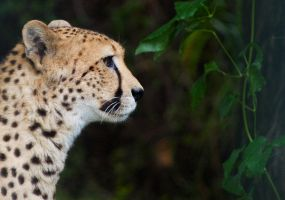 Cheetah profile by Safraba