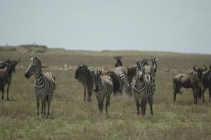 Zebras and Gnu 1 by CosmicStock