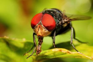 Feeding Bottle Fly by Japers