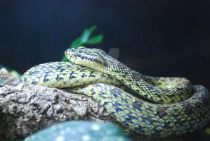 Red-Spotted Pitviper by ManitouWolf