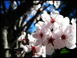Cherry Blossom 01 by candarama