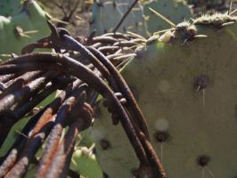 Barbed Wire on a Cactus 2 by IcejCat