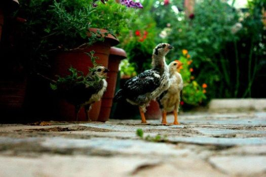 chick, garden, bird by dawnbal