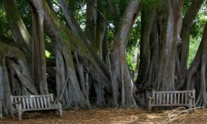 Beneath the Banyan by adurophoto
