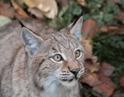 Lynx, Pforzheim IV by FGW-Photography