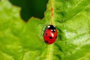 Ladybird by oliverporter3