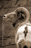 Bighorn Sheep by guitarjohnny
