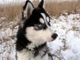 Siberian Husky in Winter by Z1lvinas