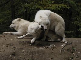 North American Arctic Wolf 53 by animalphotos