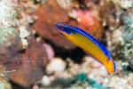 Pseudochromis aldabraensis by Saad-A