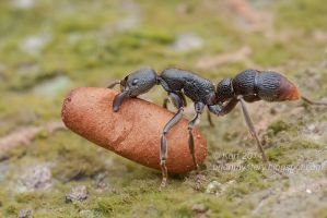 Pseudoneoponera sp. ant (IMG 1677 copy) by orionmystery