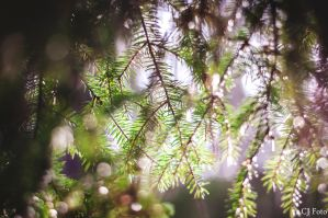 fir tree branch bokeh by CJacobssonFoto