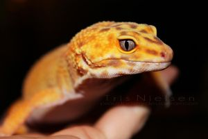 Sisi, The Tangerine Leopard Gecko by ProudPastry