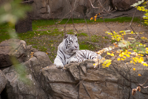 White Tiger at the Fort Worth Zoo in the fall 2011 by AquaVixie