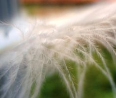 feather I by Polin-Sam