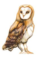 Barn Owl by WingChant