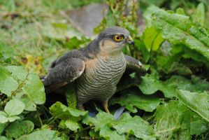 Sparrowhawk by DeathCults