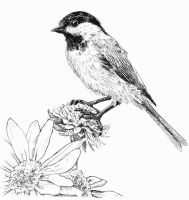 Chickadee, Pen and Ink by waughtercolors
