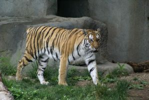 Tiger 033 by MonsterBrand-stock