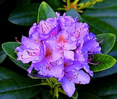 Rhododendron 1 by ximocampo
