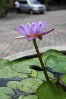 water lilly 1094 by fa-stock