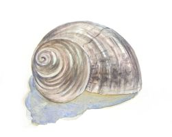 Shell 2 by CathyStephens