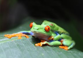 Red Eyed Tree Frogs by johnnycuervo