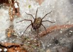 Female European House Spider - Tegenaria Atrica by TheFunnySpider