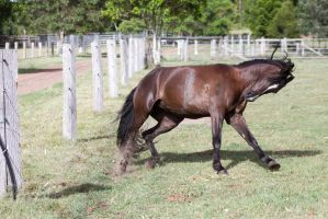 Dn Black pony canter head tucked in side view by Chunga-Stock