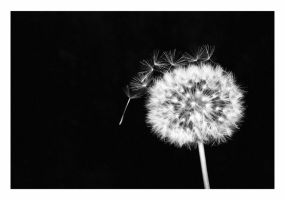 Taraxacum officinale by malindi