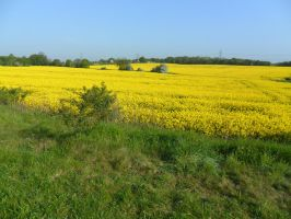 fields of yellow... by Botham1963