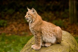 Olderdissen 14 . Lynx 005 by Dark-Wolfs-Stock