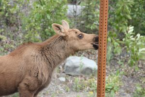 Moose licks a pole. by willowtree123
