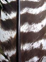 turkey feather by kayas-stock