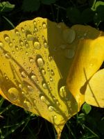 Ginkgo leaf in Autumn by TinyWild