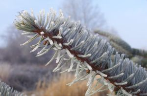 Frosted Pine by Cia81