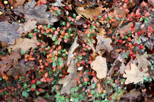 Cotoneaster, Berries And Fallen Oak Leaves Stock by aegiandyad