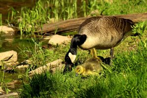 Mamma goose and gosling. by sweatangel