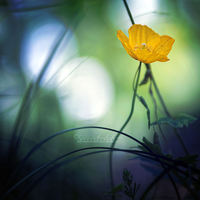 Yellow Poppy. by OliviaMichalski