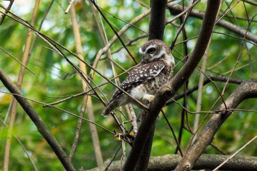 Spotted Owlet. by DebasishPhotos
