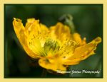 Yellow Welsh Poppy by reenaj