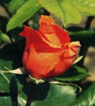 Red Rose by Cherry-Cheese-Cake