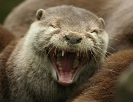 The Laughing Otter by thrumyeye